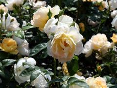 tetanger_rose.jpg