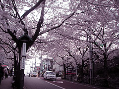 zakuro_sakura.jpg